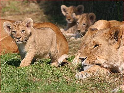 Animales: Los leones P-lions